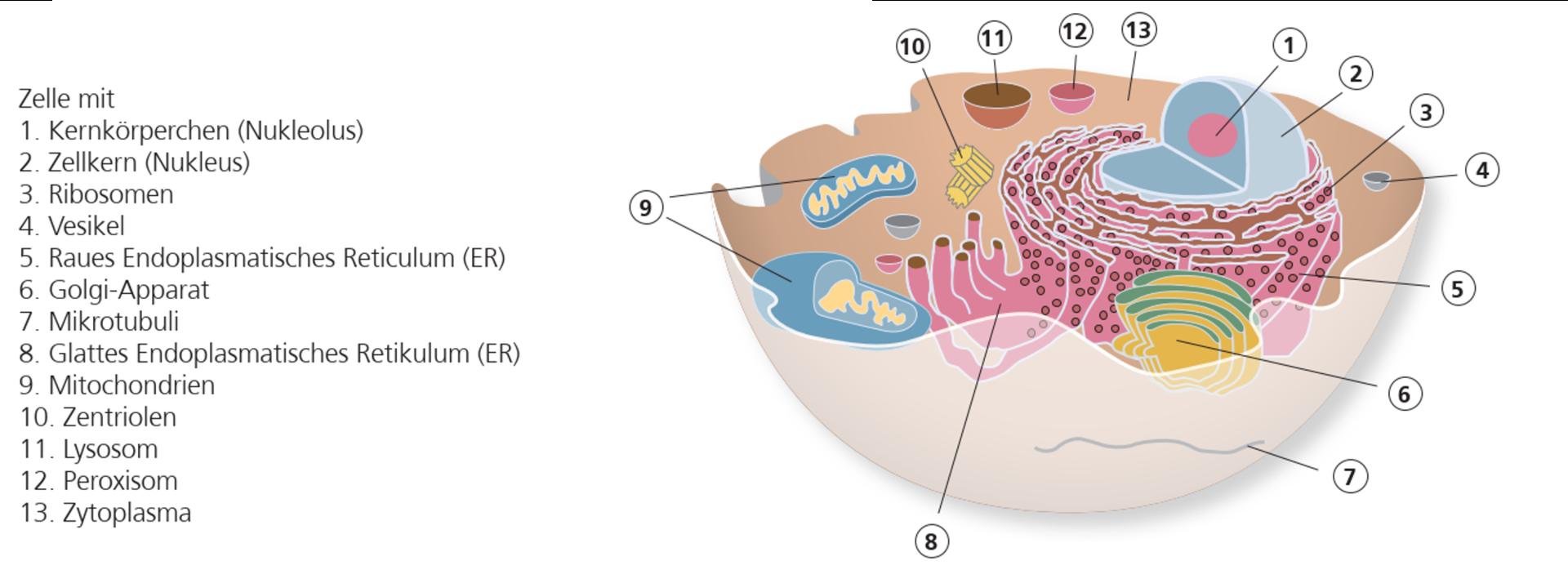 Kapitel 20 Anatomie und Physiologie der Haut   Ligamed medical ...